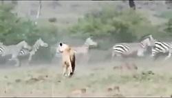 جفت پای محکم گور خر بر دهان نره شیر درنده افریقایی و لت و پار کردن شیر