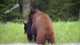 جفت گیری خرس گریزلی با خرس سیاه در حیات وحش