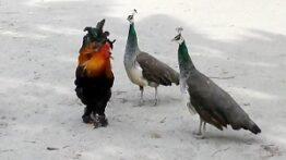 جنگ خروس با هشت طاووس