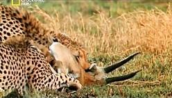 حیوانات وحشی شکار وحشیانه جنگ کفتار