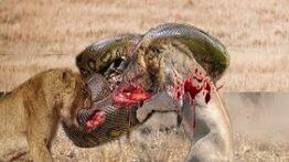 درگیری حیوانات وحشی باهم