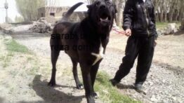 بهترین ، قویترین و خطرناک ترین سگ ها ی سرابی در ایران