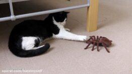 تقابل گربه با عنکبوت غول پیکر