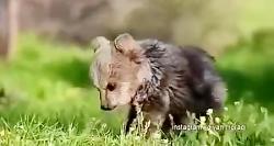 جابجایی توله خرسها با سوار شدن بر مادر