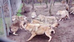 جنگ حیوانات سگ روسی با گرگ