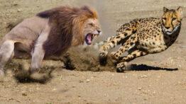 جنگ حیوانات ( شکار شترمرغ توسط شیر و یوزپلنگ )