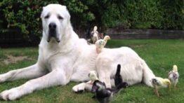 جنگ دو سگ آلابای