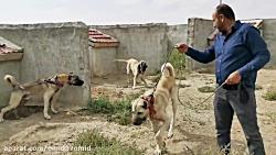 جنگ ونبرد حیوانات سگ kangal köpekleri