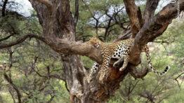 حمله پلنگ از بالای درخت به 300 بوفالو و شکارهای حیات وحش افریقا