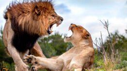 حیات وحش ، خونین ترین جنگ شیرها با حیوانات