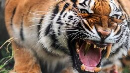 لحظه شکار یک مرد توسط ببر شکار انسان توسط ببر وحشی