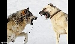 جنگ سگ کانگال با شیر