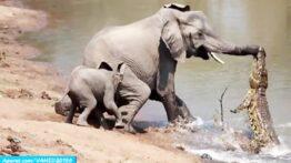 جنگ و نبرد فوق العاده دیدنی بین فیل ها با تمساحجالب