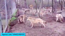 جنگ و نبرد فوق العاده وحشتناک و دیدنی گرگ های جنگل