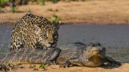 شکار عجیب تمساح توسط شیر
