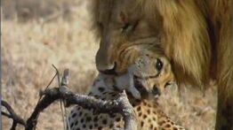 شکار یوزپلنگ توسط شیرهای نر کشته شدن یوزپلنگ توسط شیر نبرد شیر و یوزپلنگ