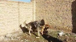فیلم جنگ خفن خونین سگ سرابی با سگ خرسی