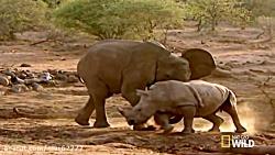 نبرد حیوانات فیل VS کرگدن