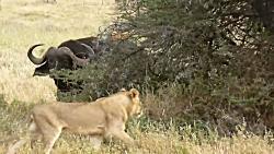 نبرد حیوانات گورخر و بوفالوو در برابر شیرها