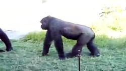 نبرد حیوانات گوریل VS پلنگ