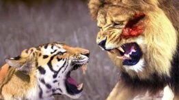 نبرد واقعی ببر و شیر +ویدیو