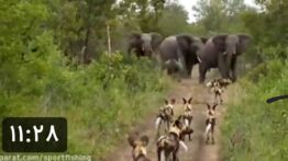 جنگ و نبرد کفتارها و شیرها با فیلها در حیات وحش افریقا