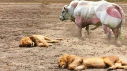 بوفالو,جنگ حیوانات ,شیر, یوزپلنگ,حمله حیوانات ,حیات وحش