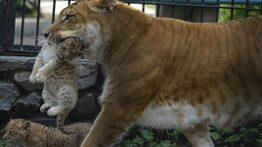 جنگ ببر و شیر در قفس