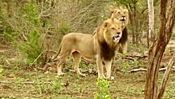 جنگ تمساح افریقایی با شیر و کرگدن و حیوانات حیات وحش افریقا