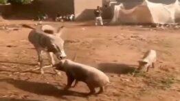 جنگ حیوانات کتک خوردن خوک از الاغ