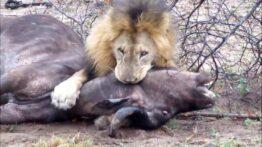 شکار بوفالو توسط شیر