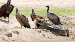 مستند_صحنه های تماشایی از نبرد تمساح در مقابل کرکس