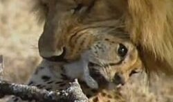 جنگ حیوانات نبرد شیر بوفالو و زرافه