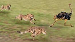 حیات وحش – یوزپلنگ در مقابل شتر مرغ – شکار مرگبار حیوانات