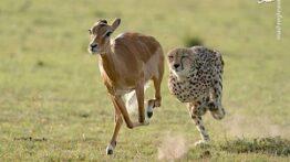 حیوانات فرار شکار از دست شکارچی