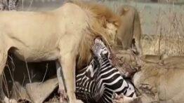 شکار گورخر توسط شیر ها و زنده زنده خوردن آن ها