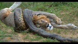 حمله مار به شیر و تمساح