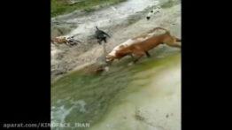 حمله 6 سگ وحشی به یک سوسمار بزرگ !!!