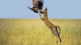 حیات وحش، حمله دیدنی عقاب برای شکار حیوانات بزرگ