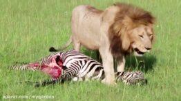 خفه کردن کفتار توسط شیر خشمگین