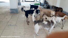 درگیری سگ های گله ولگرد وحشی سر جفت گیری