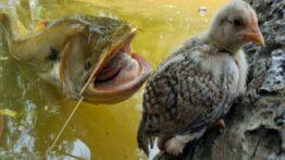 شکار شدن حرفه ای گراز وحشی توسط چیتا