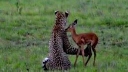شکار عجیب یک آهو توسط پلنگ گرسنه