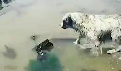 شکار مار ماهی توسط سگ وحشی