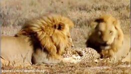 فیلم مستند جنگ و جدال شیر و همه حیوانات