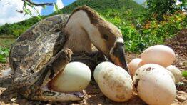 نجات غاز خانگی از حمله مار پایتون حمله حیوانات وحشی