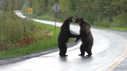 جنگ وحشتناک خرس های وحشی