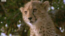 حمله دیدنی ترین گربه وحشی در حیات وحش و سایر حیوانات