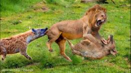 حیات وحش، حمله شیر برای شکار تسلیم شدن شیر در مقابل حیوانات