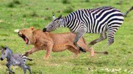 حیات وحش، حمله شیر برای شکار دفاع گورخر از بچه خود